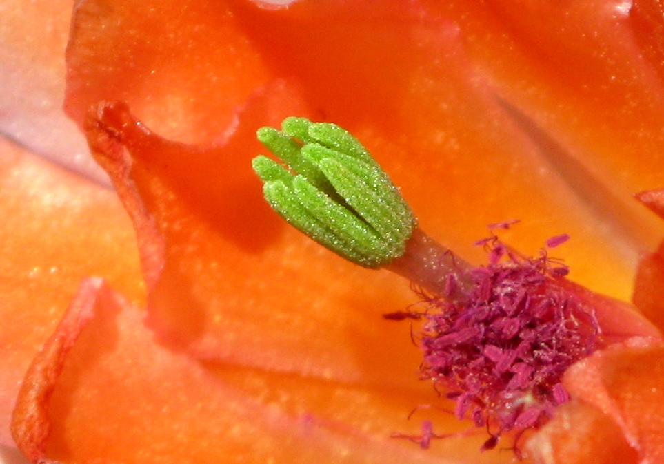 Cactus Flower in Spring